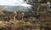 Simba, Nala und Königsberater Zazu. (Bild: Disney)