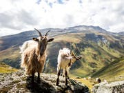 Ob Ziegen glücklich sind, lässt sich aus ihrem Meckern heraushören. (Bild: KEYSTONE/ALEXANDRA WEY)