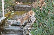 Dieser an Fuchsräude erkrankte Fuchs wurde Mitte März in Luzern gesichtet und fotografiert. (Bild: PD)
