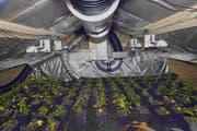 Im Dachgeschoss wurden über 150 Hanfpflanzen entdeckt. (Bilder: kapo)