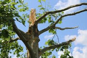 Durch seine gigantischen Torsionskräfte kann ein Tornado eine Baumkrone wie ein Zündholz knicken oder gar einen ganzen Baum samt Wurzelwerk aus dem Erdreich schrauben. (Bild: Hans Suter)