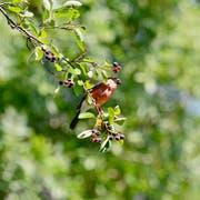 Leserbild. Klaus Stadler hat in St.Gallen einen Dompfaffen fotografiert. Der Vogel - auch als Gimpel bekannt - frisst gerade eine Felsenbirne. Deren Früchte können auch Menschen essen.