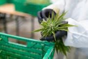 Bleibt umstritten: die Hanfpflanze (Bild: KEYSTONE/Gaetan Bally).