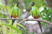 Mehr als 650 Vogelarten leben im Pantanal, auch Nandaysittiche. Bild: Win Schumacher