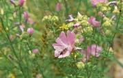Wildbienen leisten einen wichtigen Beitrag zur Biodiversität im Ökosystem.Bild: Christian H. Hildebrand (Zug, 17. Juli 2015)