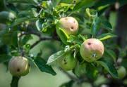 Sämtliche Äpfel von Gremlich weisen Hagelschäden auf.