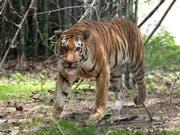 Ein Königstiger im Van Vihar National Park im indischen Bhopal. Die Tigerpopulation Indiens ist auf fast 3000 Tiere gestiegen - ein Erfolg für das Artenschutzprogramm. (Bild: KEYSTONE/EPA/SANJEEV GUPTA)