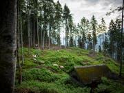 Die Wälder können die aktuelle Trockenheit noch gut verkraften. Die Trockenheit des vergangenen Jahres und der Borkenkäfer haben aber vielen Bäumen zugesetzt. (Bild: KEYSTONE/GIAN EHRENZELLER)