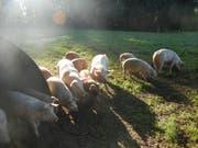 Das Fleisch der Freilandschweine ist eine begehrte Delikatesse. (Bild: PD)