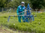 Seit den 70er-Jahren wird Chlorothalonil in der Landwirtschaft eingesetzt. Nun prüft der Bund ein Verbot des Pflanzenschutzmittels. (Bild: KEYSTONE/GAETAN BALLY)