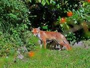 Der Fuchs hat es auf die Witzwiler Ferkel abgesehen (Archivbild). (Bild: KEYSTONE/WALTER BIERI)