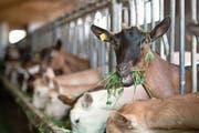 Dank hoher Milchleistung: Die Gemsfarbige Gebirgsziege ist die in der Schweiz am weitesten verbreitete Ziegenrasse. Bild: Pius Amrein (Rain, 30. Juli 2019)