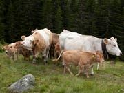 Mutterkühe auf einer Alp: Damit die Rinder nicht gereizt werden, dürfen Wanderer auf der Bannalp keine Hunde mehr mitführen. (Bild: KEYSTONE/ARNO BALZARINI)