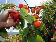 Hervorragende Aprikosenernte im Wallis dank optimalem Wetter. Die rund 150 Walliser Produzenten produzieren 97 Prozent der Schweizer Aprikosen und decken die Hälfte des Verbrauchs in der Schweiz. (Bild: Keystone/OLIVIER MAIRE)