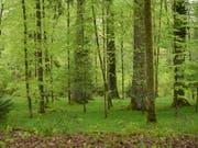 Wiederaufforstung wäre der effizienteste Weg, der Atmosphäre CO2 zu entziehen und zu speichern, zeigt eine neue Studie. Die Forscher legen auch dar, wo die Wiederbewaldung möglich wäre. (Symboldbild) (Bild: KEYSTONE/GIAN EHRENZELLER)