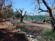 Problem in Italien: Das Bakterium Xylella fastidiosa vernichtet Olivenbäume. (Bild: PD)
