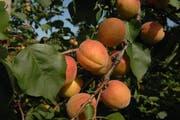 Aprikosen haben jetzt Hochsaison. (Bild: Nana do Carmo)