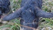 Die Wollschweine gehörten Silvan Vanhouteghem und zwei Freunden. (Bild: zvg)