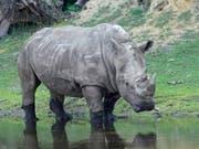 Die Schweiz widersetzt sich einer Lockerung des Nashon-Schutzes: Breitmaulnashorn «Doris», das im Juli 50-jährig in einem Zoo in Deutschland gestorben ist. (Bild: KEYSTONE/Serengeti-Park Hodenhagen/--)
