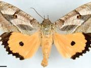 Dank Nanostrukturen ändern die vorderen Flügel der Männchen von Eudocima materna ihr Aussehen je nach Blickwinkel. Beim Flattern schillern dadurch die Flügel. (Bild: Nik Tatarnic, University of Western Australia)