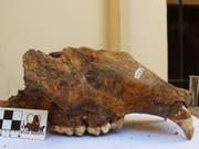 Schädel eines Höhlenbären aus dem Naturhistorischen Museum Belgrad. (Bild: R. Kowalczyk)