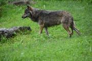 Ein Wolf ist vermutlich im Gebiet Unteralp in Andermatt unterwegs. (Symbolbild: Romano Cuonz)