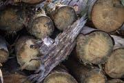 Der Borkenkäfer hinterlässt in der Rinde ein charakteristisches Muster. (Bild: Urs Flüeler/Keystone)