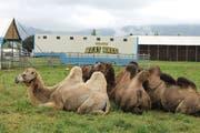 Die Kamele des «Circus Beat Breu» sind im vorarlbergischen Lustenau abgestellt. (Bild: Gernot Grabher)