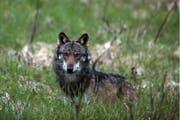 Ein Wolf hat auf einer Alp im Murgtal mehrere Schafe gerissen. (Archivbild: Keystone)