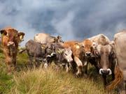 Eine Kuhherde auf der Bannalp im Kanton Nidwalden hat erneut Wanderer angegriffen. (Bild: KEYSTONE/ARNO BALZARINI)