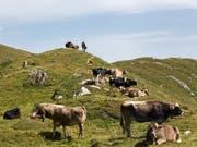Wanderer müssen sich beim Durchqueren von Alpweiden an bestimmte Regeln halten. Das Oberlandesgericht Innsbruck hat dem Opfer einer Kuh-Attacke eine Mitschuld zugesprochen. (Bild: KEYSTONE/ARNO BALZARINI)