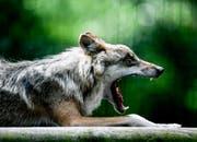 Der Wolf wird bei den Landtagswahlen zum Politikum. (Symbolbild: EPA)