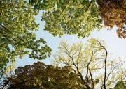 Eiche und Ahorn werden in den Luzerner Wäldern in den nächsten Jahren tendenziell zulegen, weil sie besser mit Hitze und Trockenheit umgehen können. (Bild: LAIF/Andrea Kuenzig)