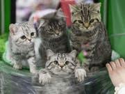 Keine Berührungsängste mehr vor Stubentigern: Eine Forschergruppe am Universitätsspital Zürich hat einen Impfstoff für Katzen entwickelt, welcher Katzenhaar-Allergie bei Menschen verringert. (Bild: Keystone/AP/ALEXANDER ZEMLIANICHENKO JR)