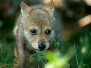 Die Geburt von mindestens drei Wolfswelpen ist im Waadtländer Jura festgestellt worden. (Bild: KEYSTONE/PHOTPRESS/WWF/STAFFAN WIDSTRAND)