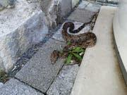 Die Schlange, die in Flüelen gefunden wurde, dürfte eine Boa Constrictor sein. (Bild: Amt für Umweltschutz Kanton Uri)