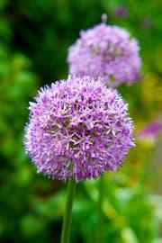 Die Allium-Pflanze leuchtet so schön. Wer kann da widerstehen? (Bild: Shutterstock)