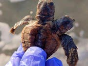 Die Schildkröte mit zwei Köpfen erhielt den Namen «Squirt und Crush», bevor sie ins Meer entlassen wurde. (Bild: KEYSTONE/AP Sea Turtle Patrol Hilton Head Island)