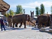 Die vier letzten dänischen Zirkus-Elefanten werden von der dänischen Regierung aufgekauft und in den Ruhestand geschickt. Nach Angaben eines dänischen Ministeriums zahlt der Staat umgerechnet 1,6 Millionen Franken für Ramboline, Lara, Djunga und Jenny. (Bild: KEYSTONE/GAETAN BALLY)