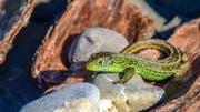 Ein kleiner grüner Dinosaurier, die Zauneidechse (Bild: Fredy Buchmann)