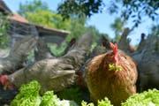 Auch ein blindes Huhn findet mal ein Korn - oder Salatblatt. Ein Sprichwort mit negativen Kontext. (Bild: Donato Caspari, 13.06.2017)