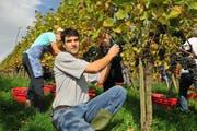 Winzer Martin Wolfer bei der Lese der Weintrauben. (Bild: Mario Testa)