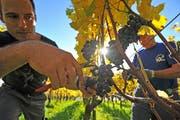 Johannes Meier, Besitzer des Schlossguts Bachtobel, bei der Lese einer roten Weinsorte im Herbst. (Bild: Mario Testa)