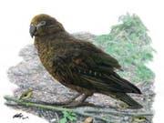 Bis zu einem Meter gross: Vor mehreren Millionen Jahren lebte auf Neuseeland ein Riesen-Papagei. (Illustration) (Bild: Flinders University/Brian Choo)