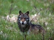 Die Walliser Regierung und der Grosse Rat wollen die Zahl der Jäger erhöhen, um die Chancen beim Wolf-Abschuss zu erhöhen. (Bild: KEYSTONE/MARCO SCHMIDT)
