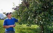 Feuerbrandkontrolleur Fredy Odermatt begutachtet einen Birnbaum in der Riedenmatt. (Bild: Corinne Glanzmann, Stans, 10. September 2019)