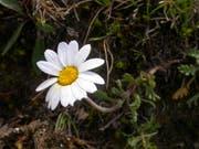 Sind wenig Nährstoffe verfügbar, ist die Alpenmargerite im Vorteil. Mit dem Klimawandel verändert sich die Flora der Alpen, wobei Böden eine zentrale, aber kaum erforschte Rolle spielen. (Bild: Wikimedia Commons, CC BY-SA 3.0)