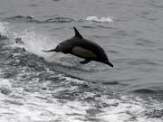 Grössere Hoffnungen setzten die CIA-Forscher in die Ausbildung von Delfinen. Sie sollten Mitte der 60er Jahre etwa die Entwicklung sowjetischer Atom-U-Boote ausspionieren. (Bild: KEYSTONE/AP/NICK UT)