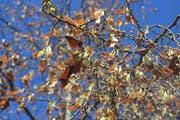 Blätter und Früchte der Sommerlinde auf dem Plätzchen zwischen Waaghaus, Post Brühltor und Coop City. (Bild: Reto Voneschen - 12. September 2019)