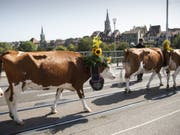 Kühe auf der Berner Kornhausbrücke: Der Alpabzug ist jeweils der Höhepunkt der Sichlete in der Bundesstadt. (Bild: Keystone/PETER KLAUNZER)